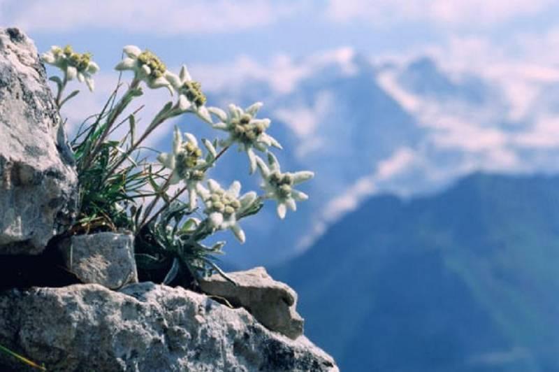 Картинки по запросу эдельвейс в горах